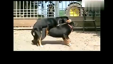 人跟什么动物做爱爱最开心_动物繁殖行为:狗交配