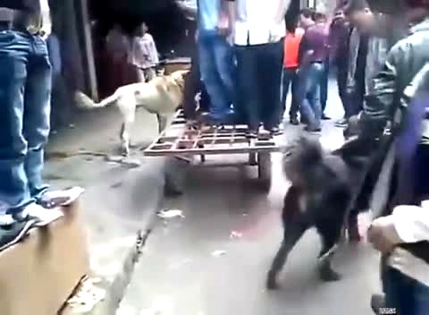 斗狗打架 高加索犬咬死藏獒 免费在线观看 360高清图片