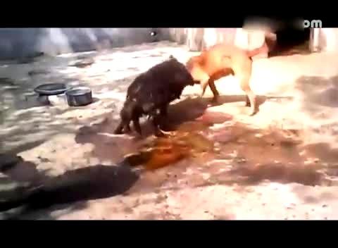 鬼獒咬死藏獒 视频 藏獒打架视频 免费在线观看 高清图片