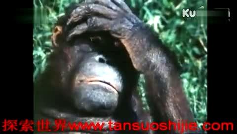 动物世界猩猩_视频在线观看-爱奇艺搜索