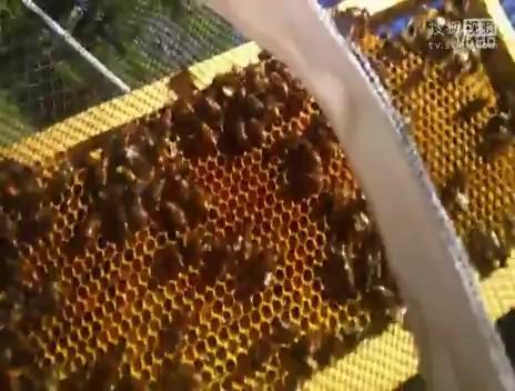 中华小蜜蜂养殖技术_蜜蜂养殖视频-